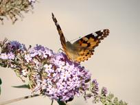 扇动翅膀的红蛱蝶