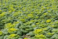 卷心菜基地种植