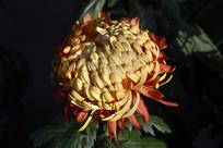 橙红双色菊花