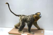 滇金丝猴标本