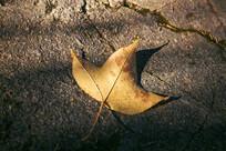 掉落地面的一片金色枫叶