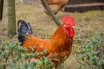 红色鸡冠的大公鸡