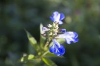 一株蓝色的小花