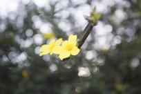 枝头的两朵黄色小花