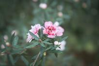 枝头盛开的淡红色的小花