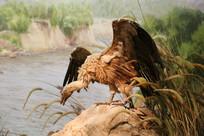 标本水边秃鹫