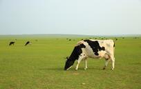 草原上吃草的奶牛