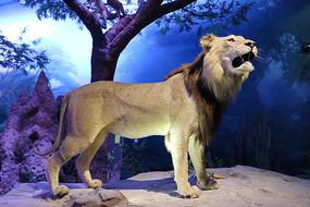 丛林狮子标本