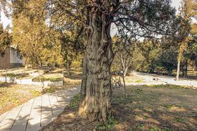 古柏树树干特写