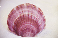 海洋贝类皇后海扇蛤