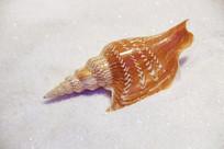 海洋贝类金斧凤凰螺