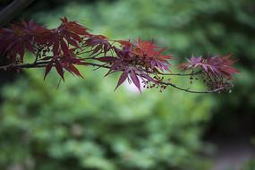 红叶鸡爪槭