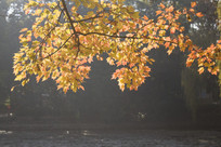 湖面的黄色树叶