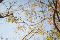 蓝天下的黄色树叶
