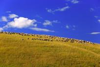 蓝天下的牧场羊群