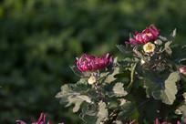 两朵红色菊花