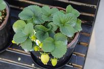绿色草莓盆栽