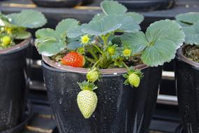 盆栽红草莓