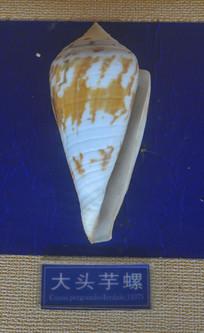 大头芋螺标本