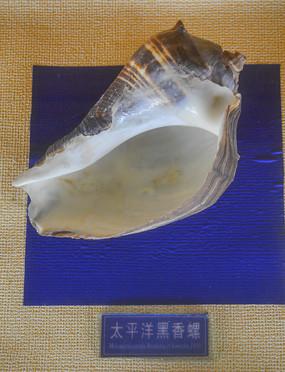 太平洋黑香螺螺口标本