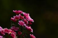 粉菊花特写图片