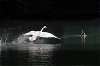 起飞的天鹅