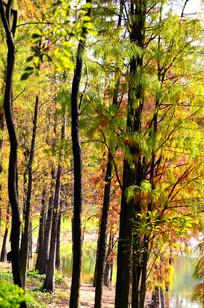 秋天的水杉红叶风景图片