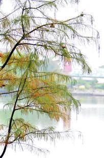 水杉树枝风景