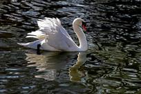 竖起翅膀的疣鼻天鹅
