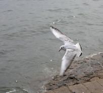 飞翔中的海鸥