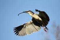 空中的一只灰鹭