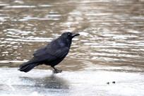 落在水边的乌鸦