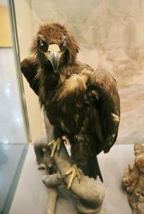 鸟类标本秃鹫