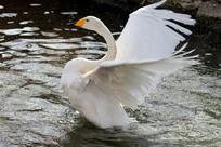 翩翩起舞的白天鹅
