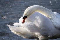 梳理羽毛的天鹅