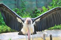展翅的非洲秃鹳