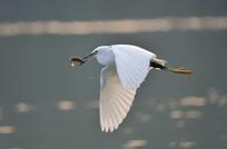 捉鱼飞翔的白鹭