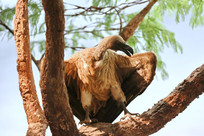 动物标本非洲秃鹫