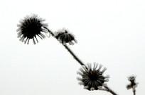 枯草上的霜花