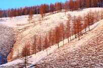 山脊松树林雪景