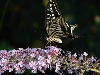 停歇在醉鱼草上的柑橘凤蝶