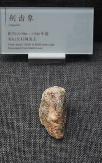 巫山博物馆展品剑齿象骨骼