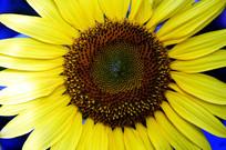 向日葵葵花特写图片