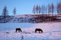 雪野牧场骏马