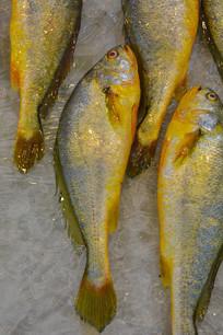 养殖大黄鱼