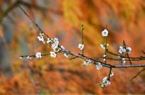 一枝梅花风景图片
