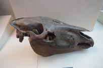 古代野马头骨