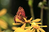 红色花蝴蝶