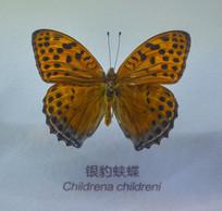 蝴蝶标本银豹蛱蝶