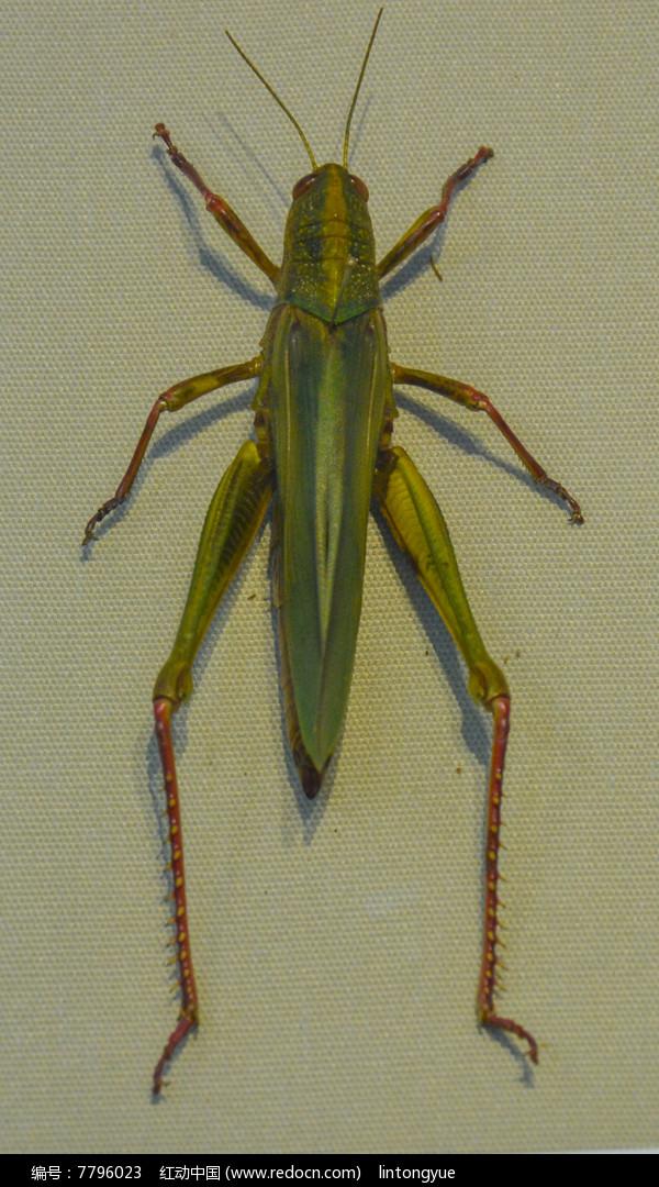 原创摄影图 动物植物 昆虫世界 昆虫标本中华棉蝗